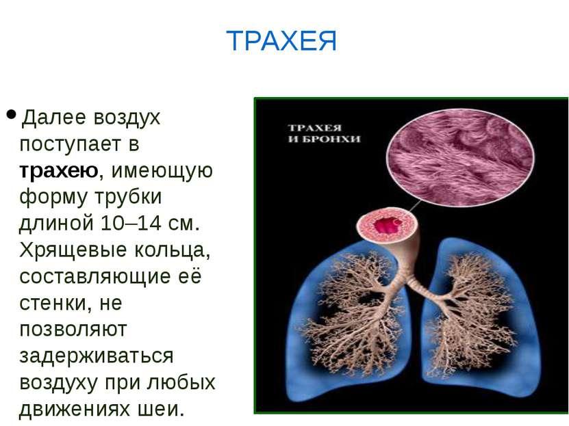 Далее воздух поступает в трахею, имеющую форму трубки длиной 10–14 см. Хрящев...