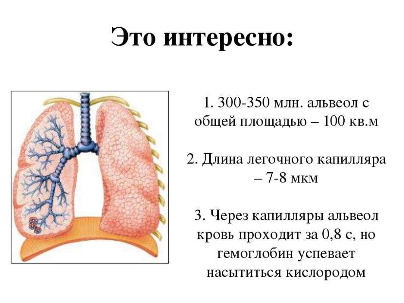 1. 300-350 млн. альвеол с общей площадью – 100 кв.м 2. Длина легочного капилл...