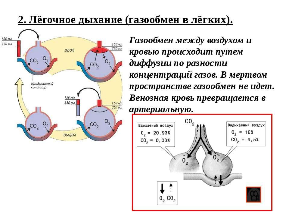 2. Лёгочное дыхание (газообмен в лёгких). Газообмен между воздухом и кровью п...