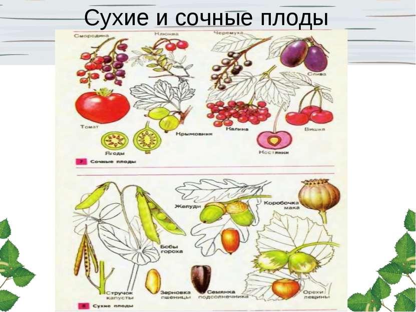 Сухие и сочные плоды