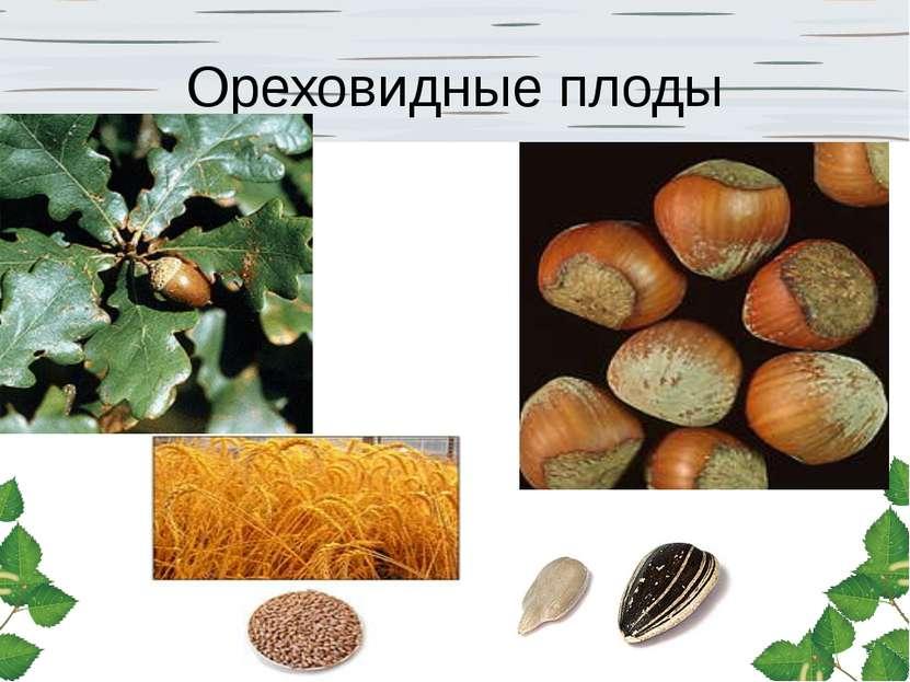 Ореховидные плоды