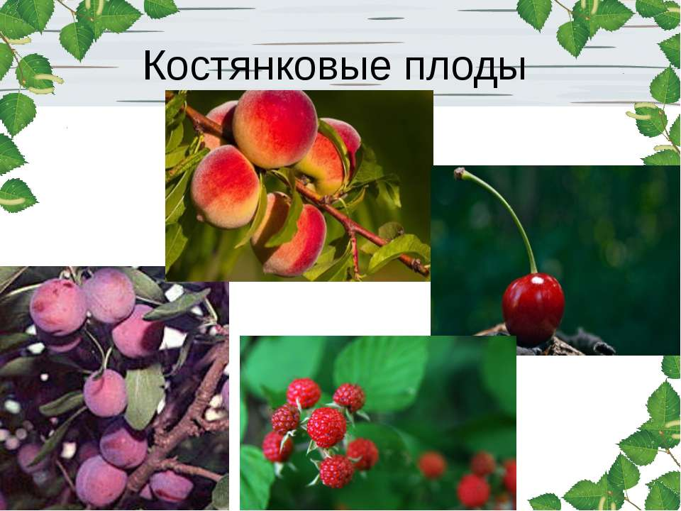 Костянковые плоды