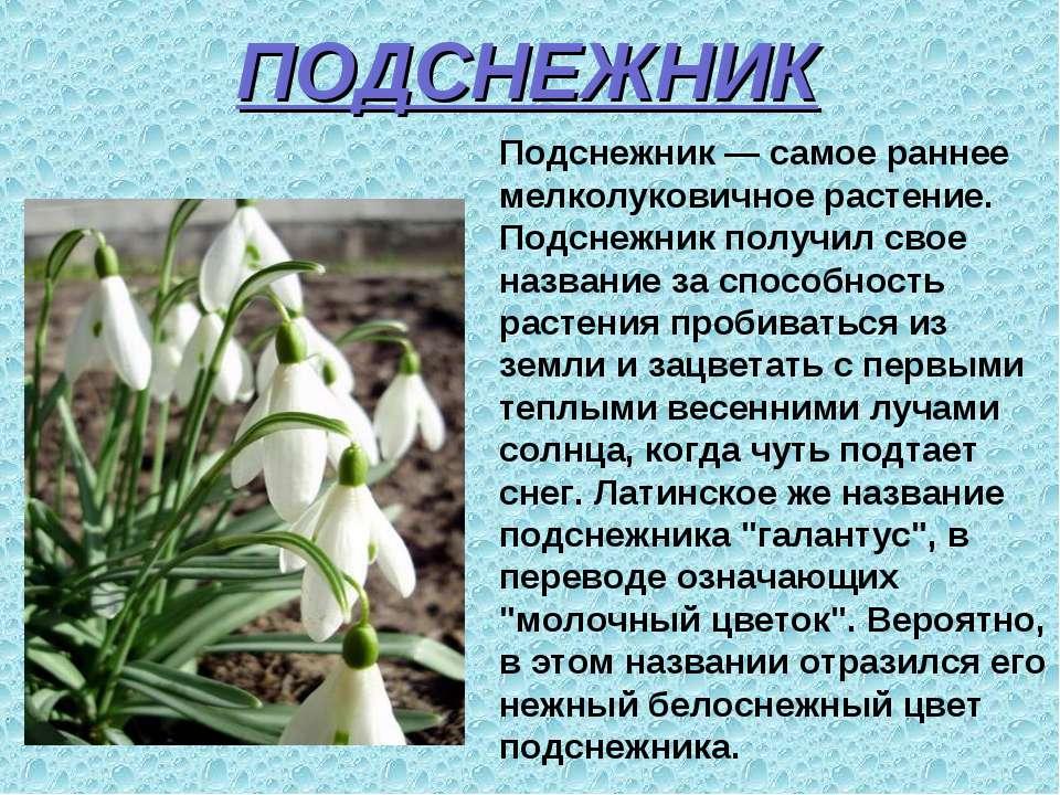 ПОДСНЕЖНИК Подснежник — самое раннее мелколуковичное растение. Подснежник пол...
