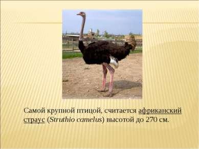 Самой крупной птицой, считается африканский страус (Struthio camelus) высотой...
