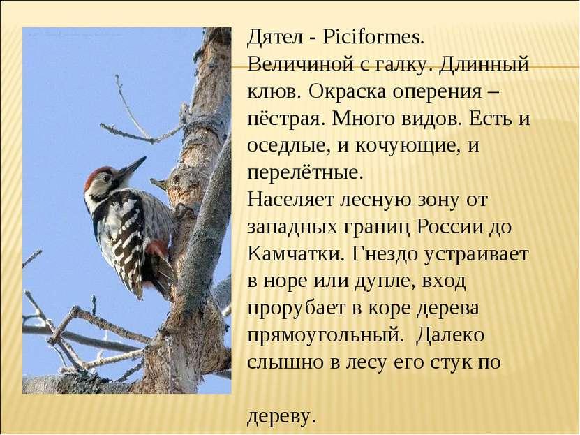 Дятел - Piciformes. Величиной с галку. Длинный клюв. Окраска оперения – пёстр...