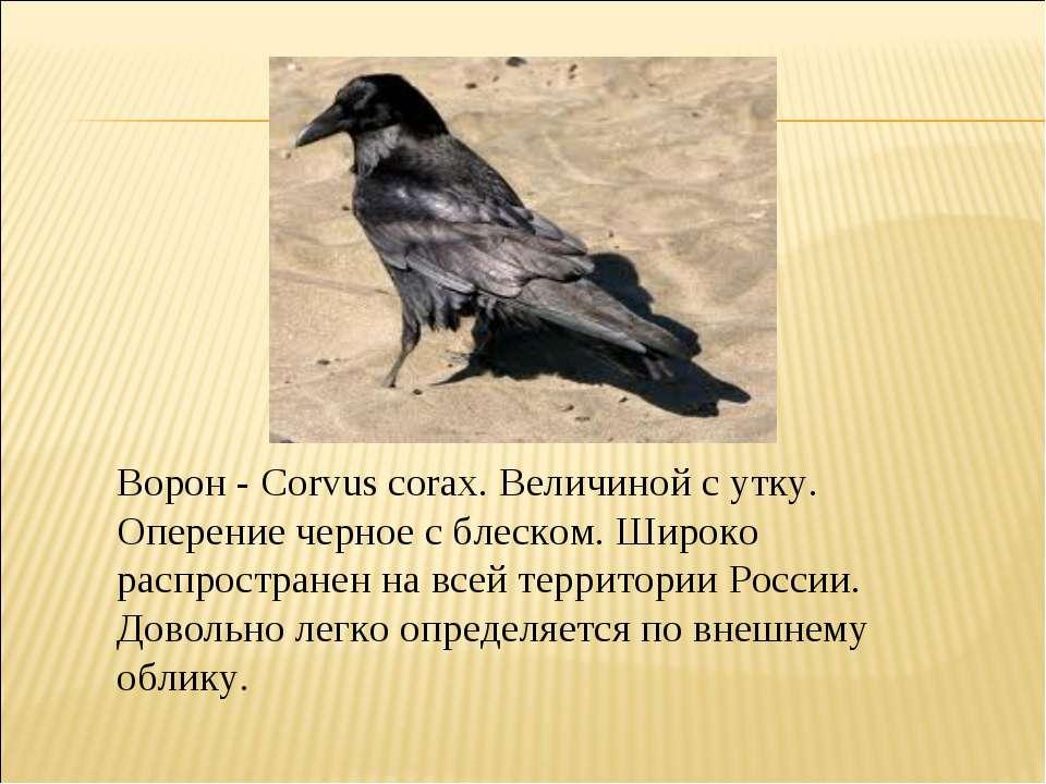 Ворон - Corvus corax. Величиной с утку. Оперение черное с блеском. Широко рас...