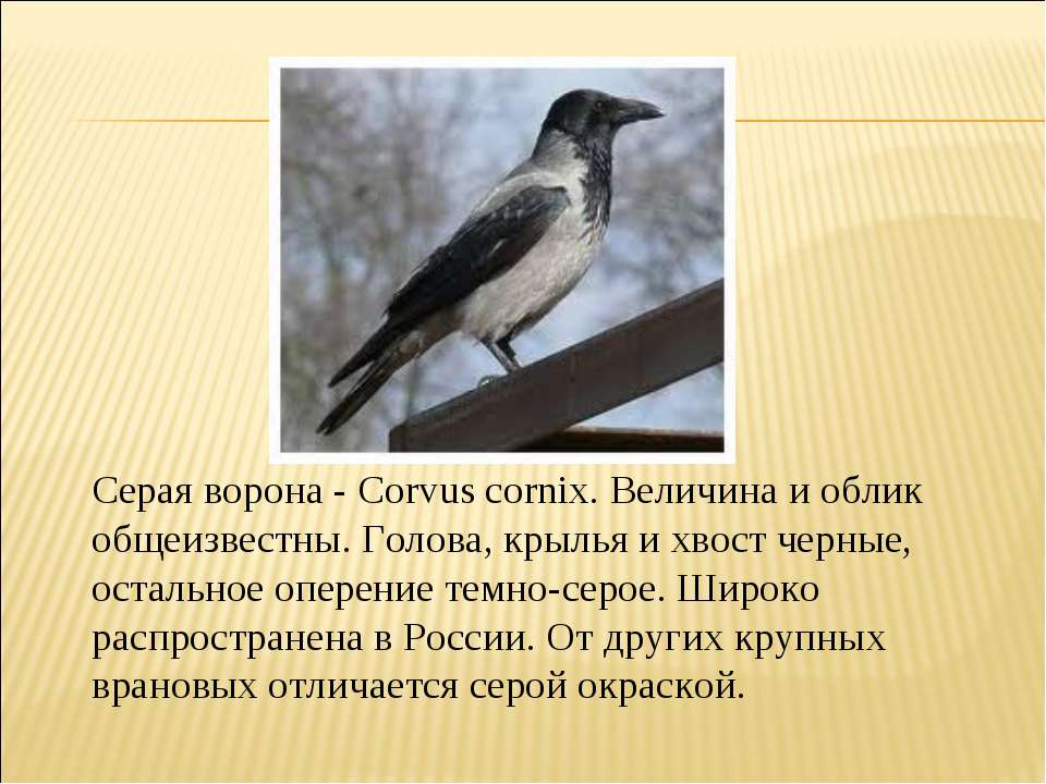 Серая ворона - Corvus cornix. Величина и облик общеизвестны. Голова, крылья и...
