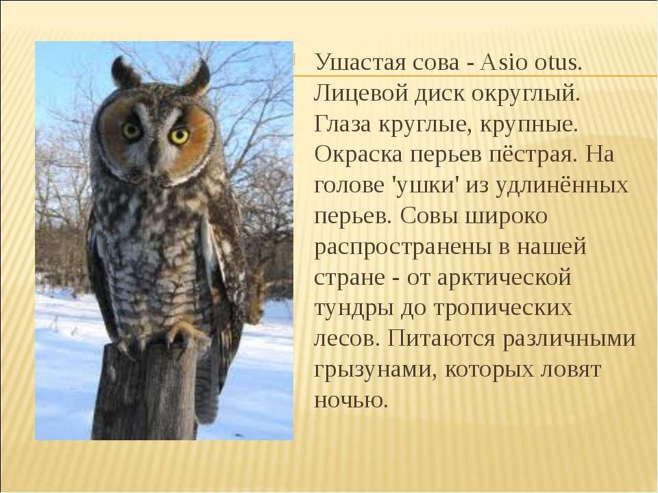 Ушастая сова - Asio otus. Лицевой диск округлый. Глаза круглые, крупные. Окра...