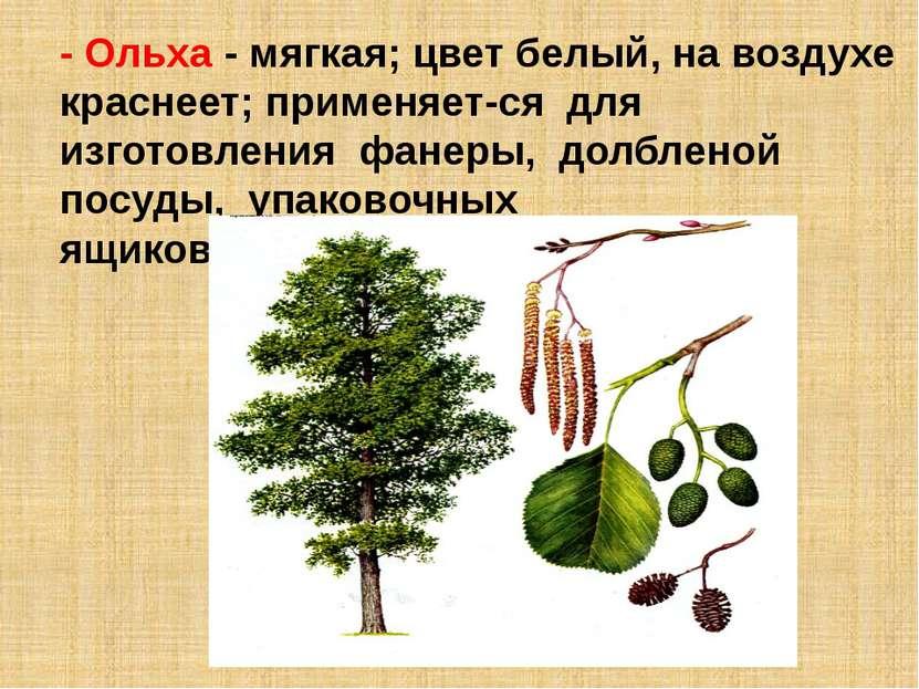 - Ольха - мягкая; цвет белый, на воздухе краснеет; применяет ся для изготовле...