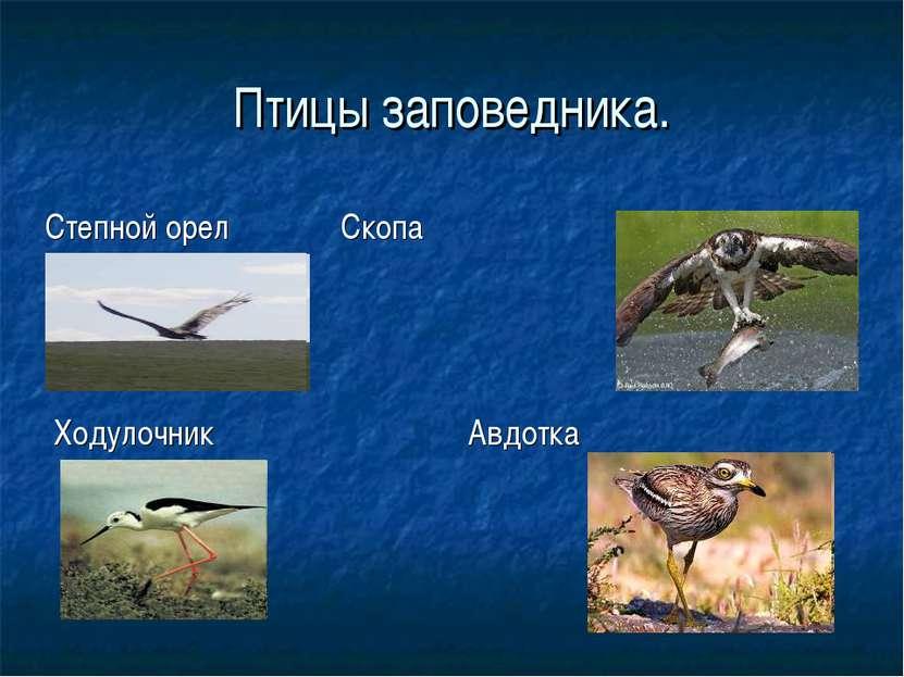 Птицы заповедника. Ходулочник Авдотка Степной орел Скопа