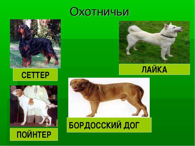 Охотничьи СЕТТЕР ПОЙНТЕР БОРДОССКИЙ ДОГ ЛАЙКА