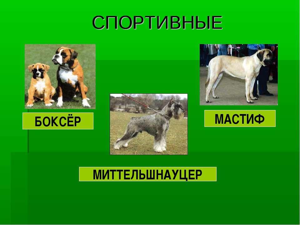 СПОРТИВНЫЕ БОКСЁР МАСТИФ МИТТЕЛЬШНАУЦЕР