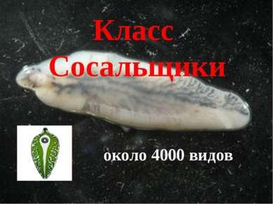 Класс Сосальщики около 4000 видов