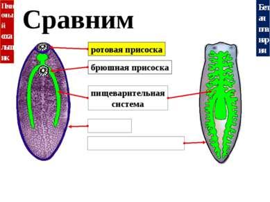 Белая планария Печеночный сосальщик Сравним кутикула ресничный эпителий ротов...