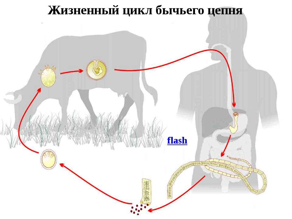 Жизненный цикл бычьего цепня flash