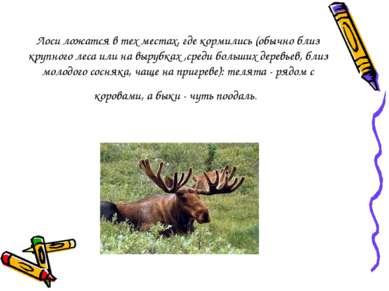 Лоси ложатся в тех местах, где кормились (обычно близ крупного леса или на вы...