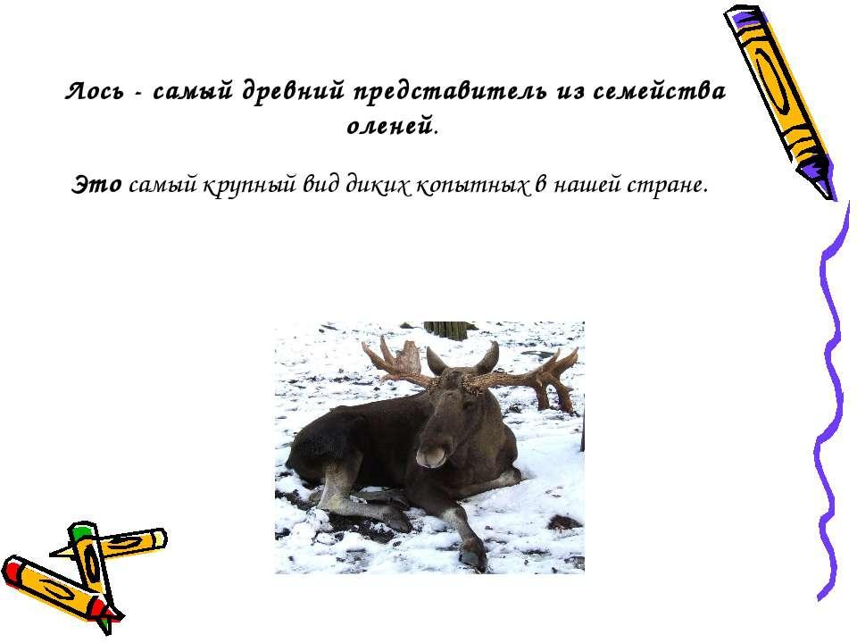 Лось - самый древний представитель из семейства оленей. Это самый крупный вид...