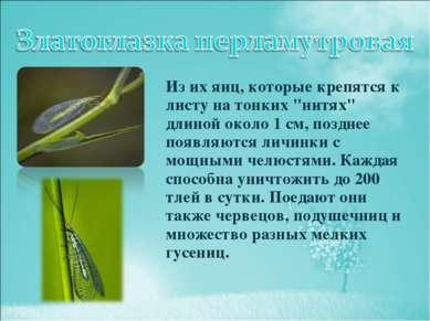 """Из их яиц, которые крепятся к листу на тонких """"нитях"""" длиной около 1 см, позд..."""