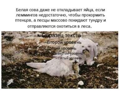 Белая сова даже не откладывает яйца, если леммингов недостаточно, чтобы проко...