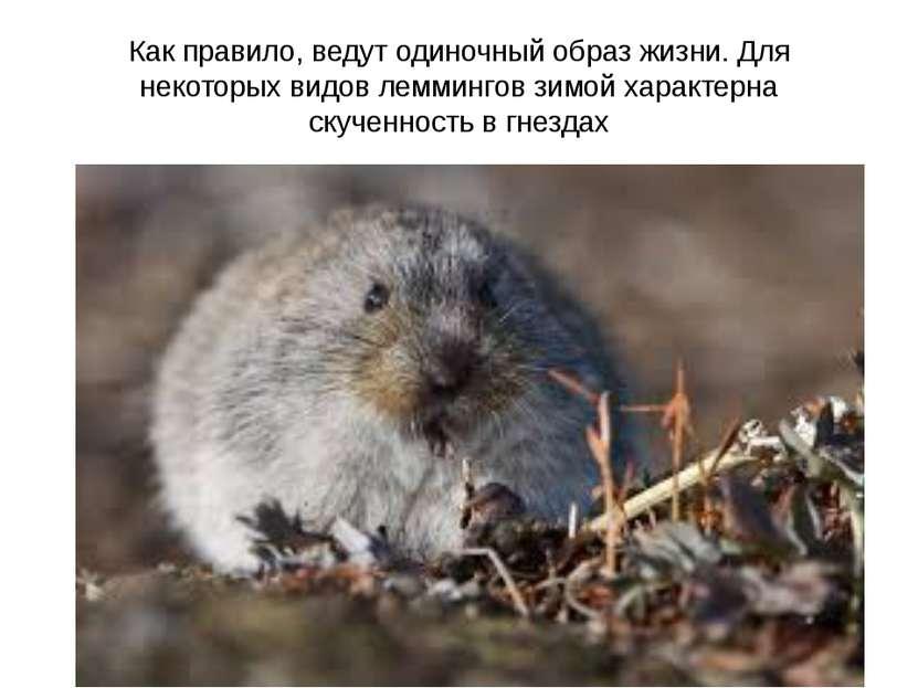 Как правило, ведут одиночный образ жизни. Для некоторых видов леммингов зимой...