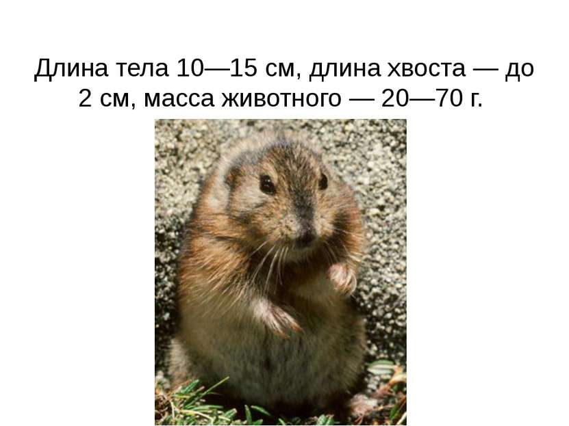 Длина тела 10—15см, длина хвоста— до 2см, масса животного— 20—70 г.