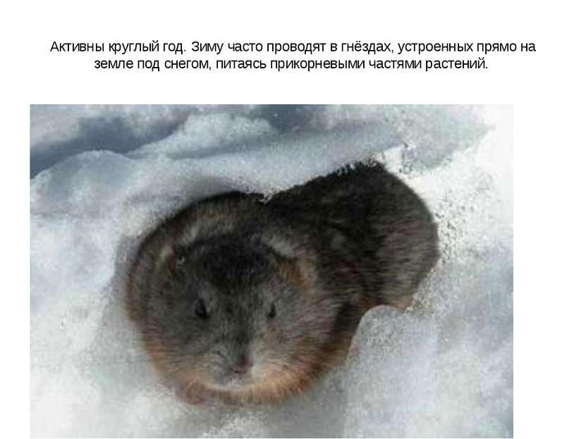 Активны круглый год. Зиму часто проводят в гнёздах, устроенных прямо на земле...