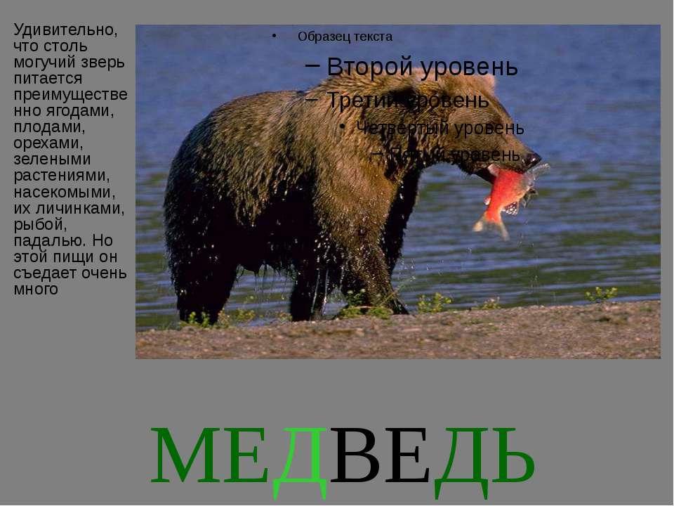 МЕДВЕДЬ Удивительно, что столь могучий зверь питается преимущественно ягодами...