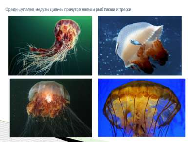 Среди щупалец медузыцианеипрячутся мальки рыбпикшиитрески.