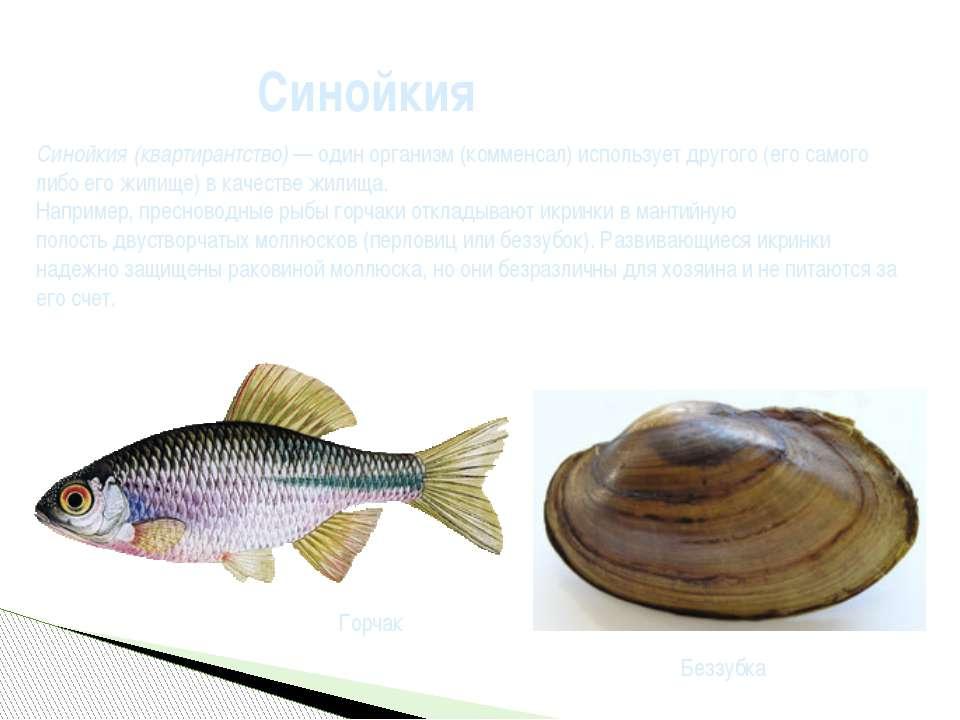 Синойкия Синойкия(квартирантство) — один организм (комменсал) использует дру...