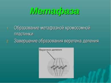 Метафаза Образование метафазной хромосомной пластинки Завершение образования ...