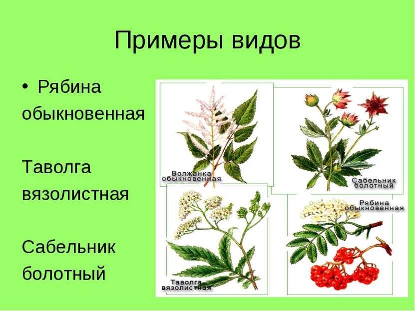 Примеры видов Рябина обыкновенная Таволга вязолистная Сабельник болотный