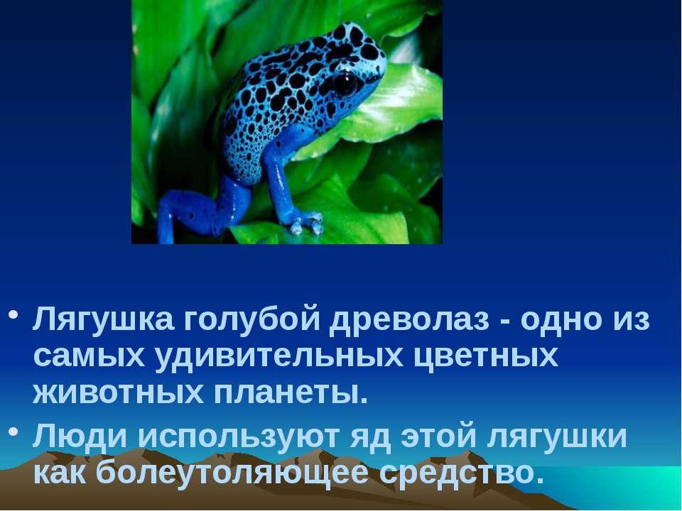 Лягушка голубой древолаз - одно из самых удивительных цветных животных планет...
