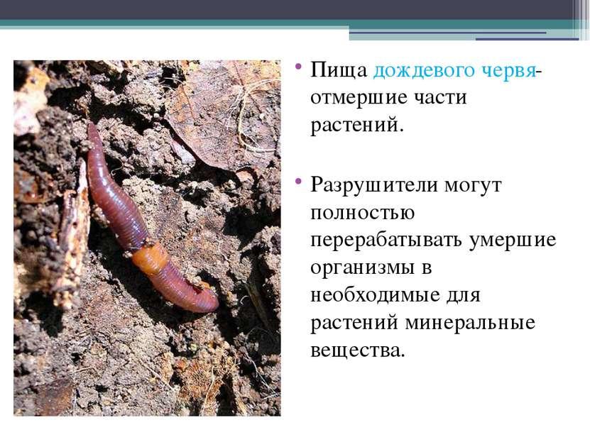 Пища дождевого червя- отмершие части растений. Разрушители могут полностью пе...