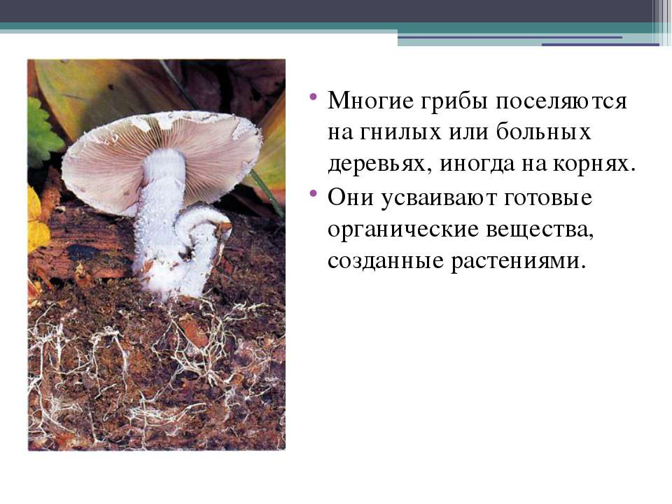 Многие грибы поселяются на гнилых или больных деревьях, иногда на корнях. Они...