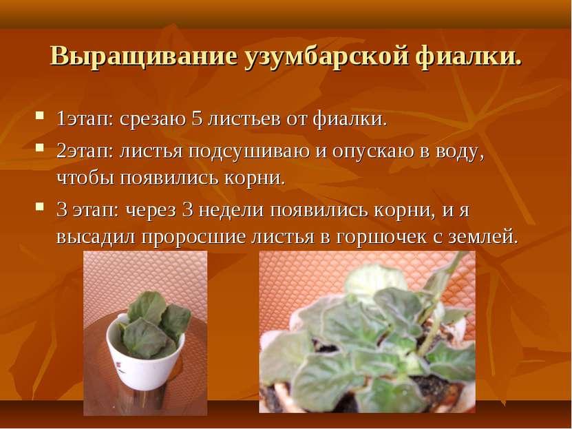 Выращивание узумбарской фиалки. 1этап: срезаю 5 листьев от фиалки. 2этап: лис...