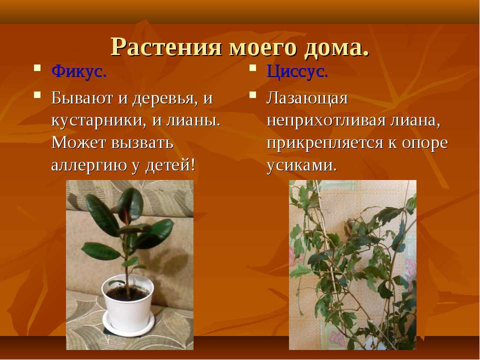 Растения моего дома. Фикус. Бывают и деревья, и кустарники, и лианы. Может вы...