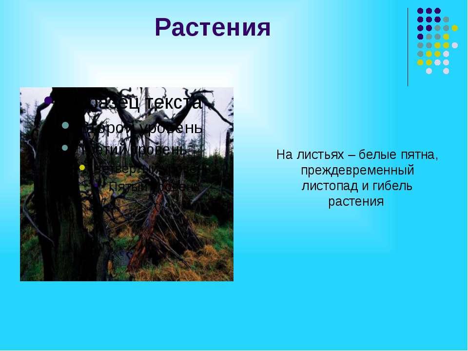 Растения На листьях – белые пятна, преждевременный листопад и гибель растения