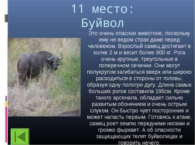 11 место: Буйвол Это очень опасное животное, поскольку ему не ведом страх даж...