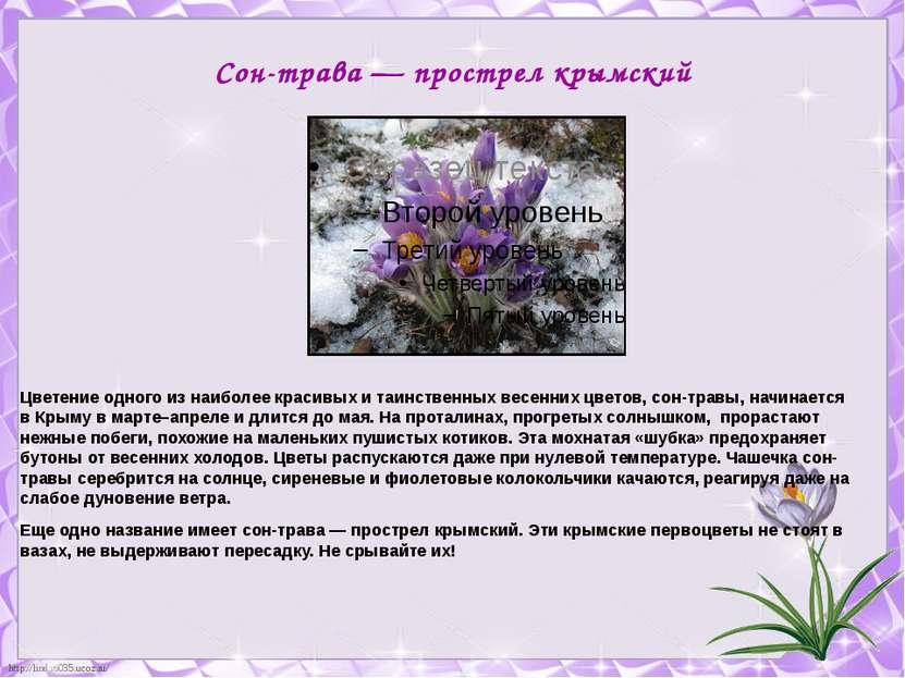 Сон-трава — прострел крымский Цветение одного из наиболее красивых и таинстве...