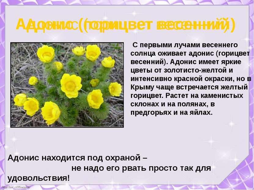 Адонис (горицвет весенний) С первыми лучами весеннего солнца оживает адонис (...