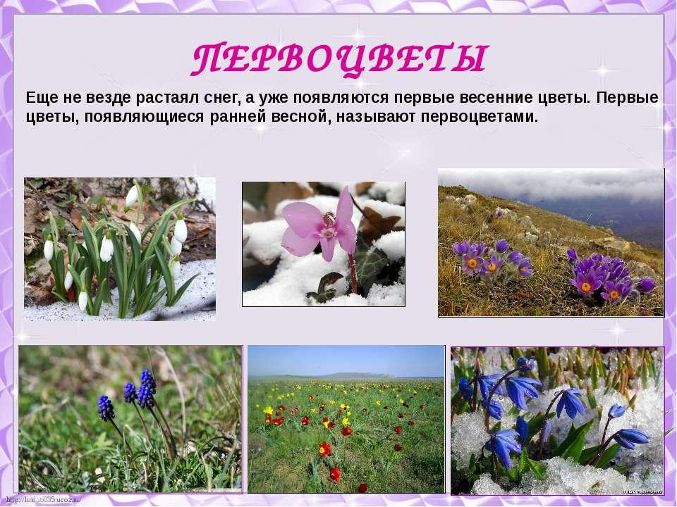 ПЕРВОЦВЕТЫ Еще не везде растаял снег, а уже появляются первые весенние цветы....