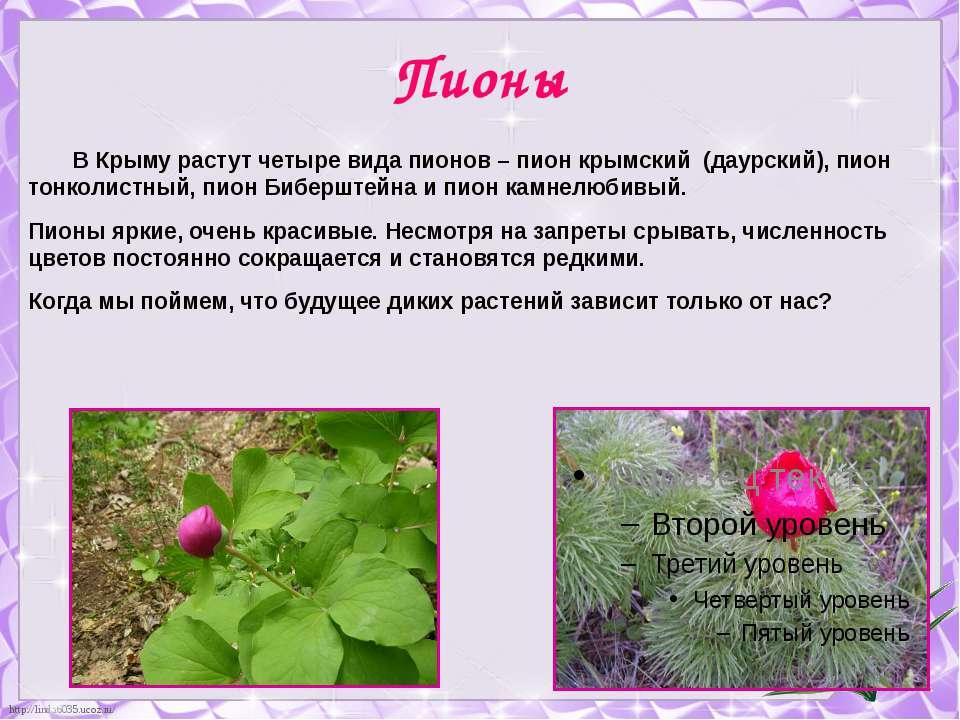 Пионы В Крыму растут четыре вида пионов – пион крымский (даурский), пион тонк...