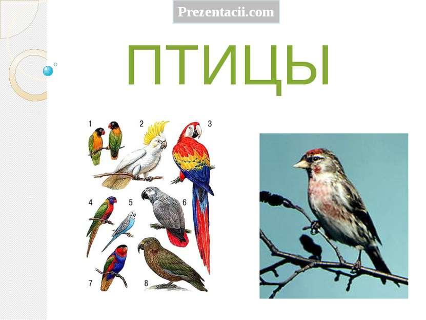 ПТИЦЫ Prezentacii.com