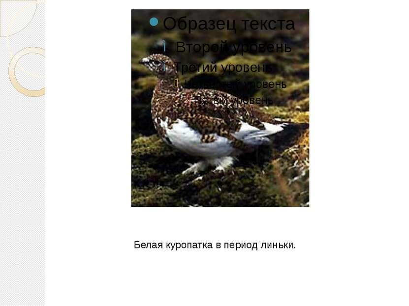 Белая куропатка в период линьки.