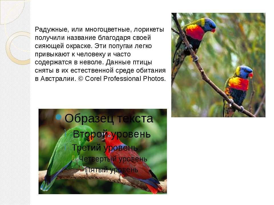 Радужные, или многоцветные, лорикеты получили название благодаря своей сияюще...