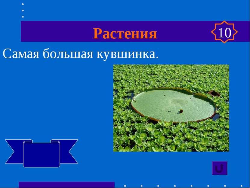 Растения Самая большая кувшинка. Виктория регия 10