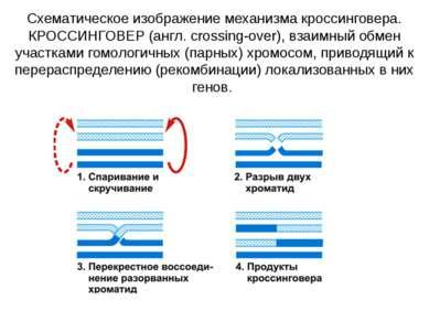 Схематическое изображение механизма кроссинговера. КРОССИНГОВЕР (англ. crossi...