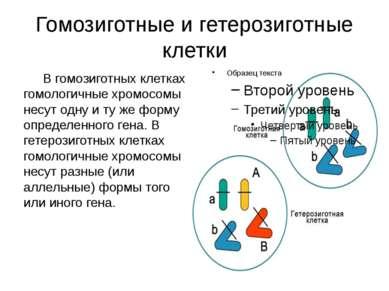 Гомозиготные и гетерозиготные клетки В гомозиготных клетках гомологичные хром...