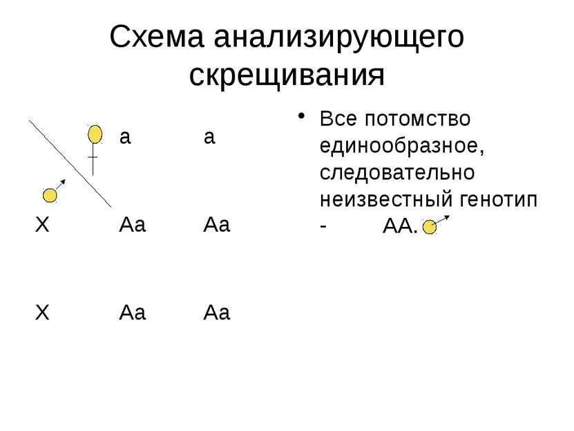 Схема анализирующего скрещивания Все потомство единообразное, следовательно н...