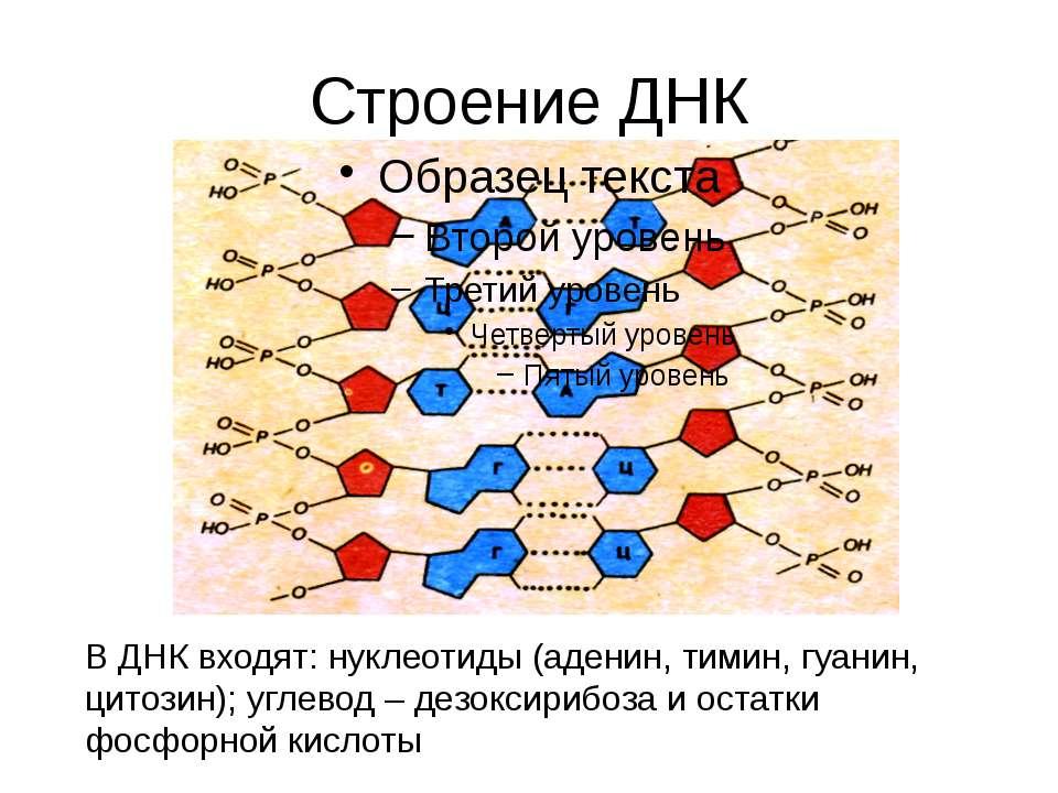 Строение ДНК В ДНК входят: нуклеотиды (аденин, тимин, гуанин, цитозин); углев...